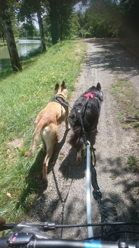 canivtt 2 chiens - mauvais équipement