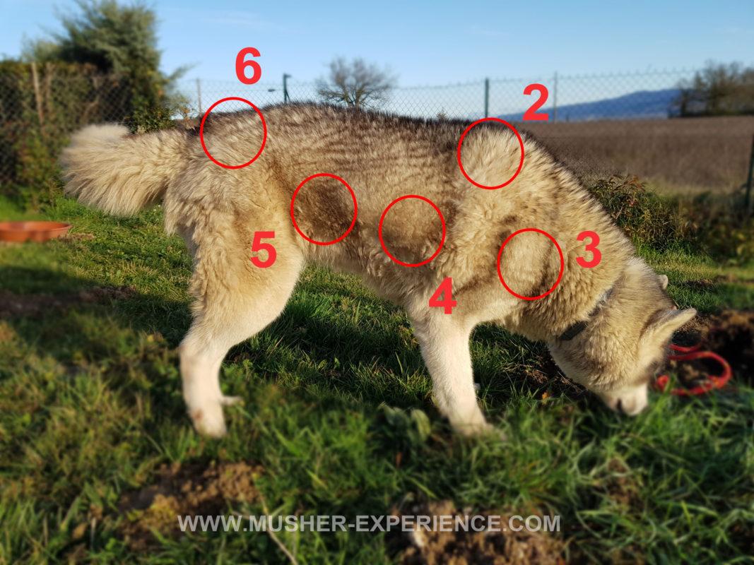 chien sans harnais husky siberien point taille harnais