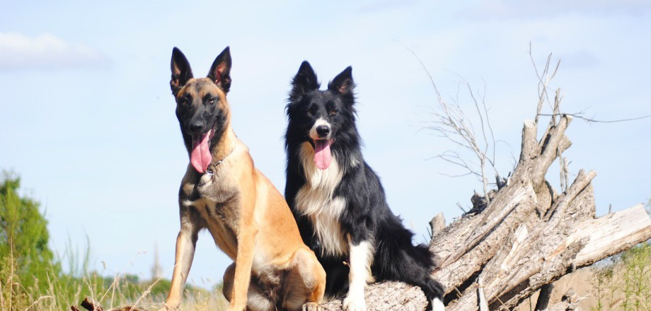 chien sportif malinois jazz et luv