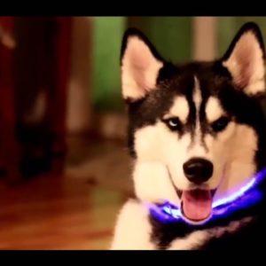collier lumineux bleu pour husky siberien