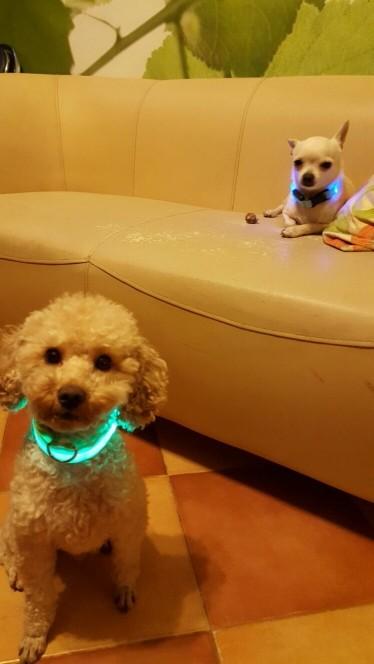 collier lumineux pour caniche avis temoignage