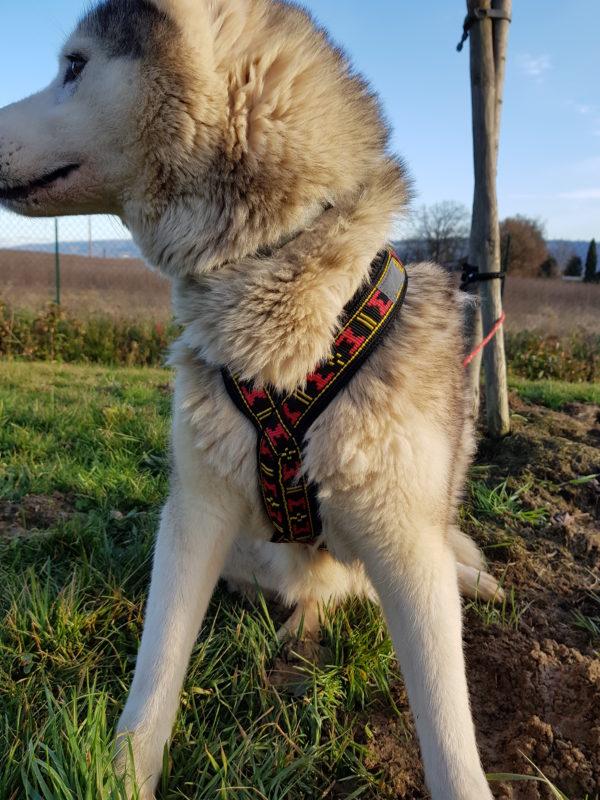 guide taille harnais xback chien husky siberien poitrine poitraille