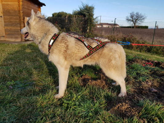 guide taille harnais xback chien husky siberien profil