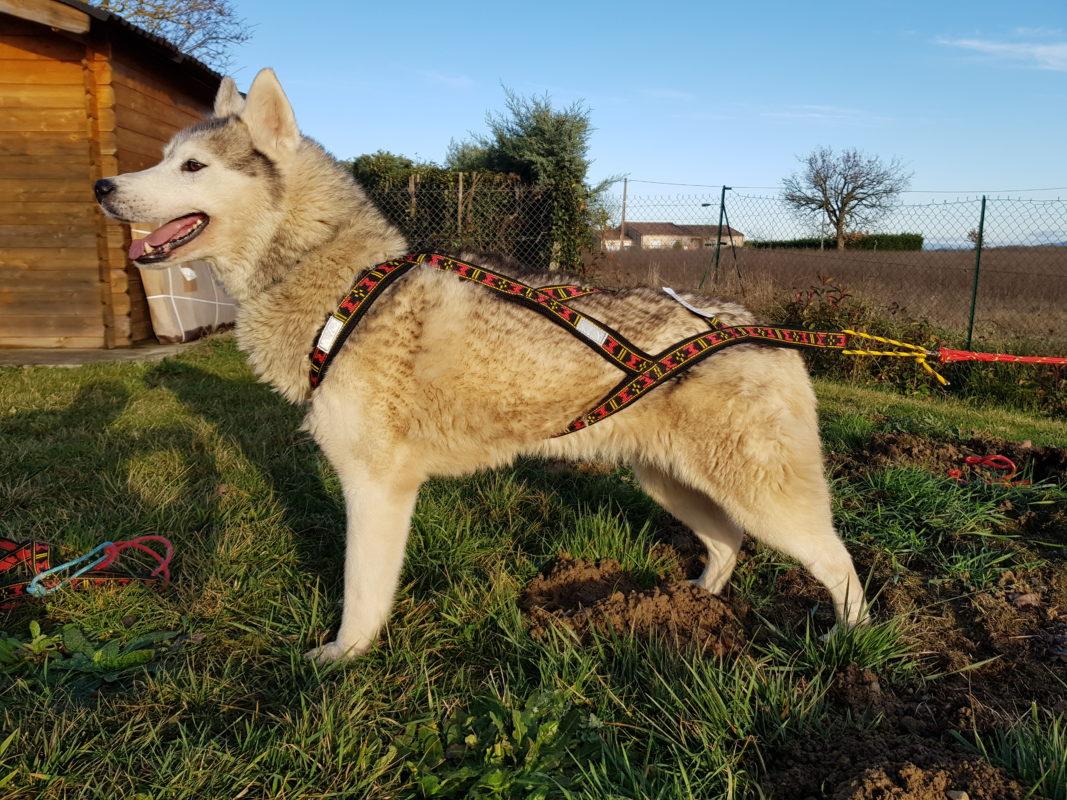guide taille harnais xback trop grand chien husky siberien profil gauche