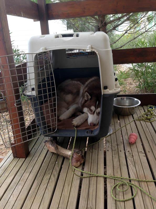 meiko husky siberien en box caisse de transport chien