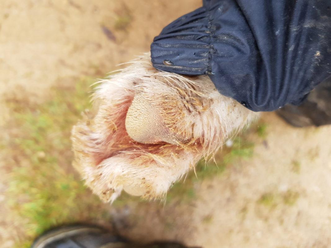 patte chien coussinet chien attelage canin