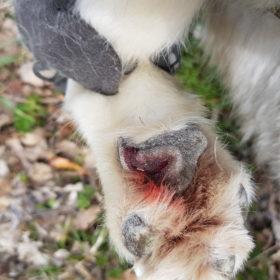Chaussures pour chiens protection des coussinets, éviter les blessures