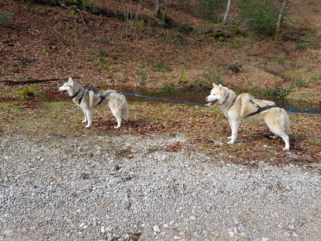 attelage 2 chiens husky siberien