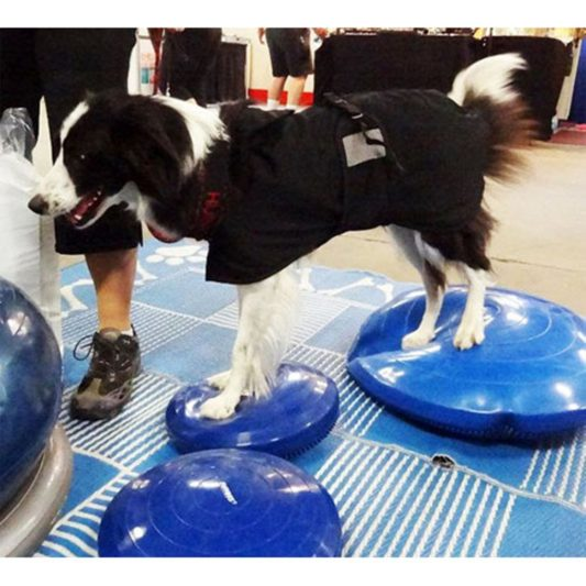 coussin de proprioception pour chien border collie