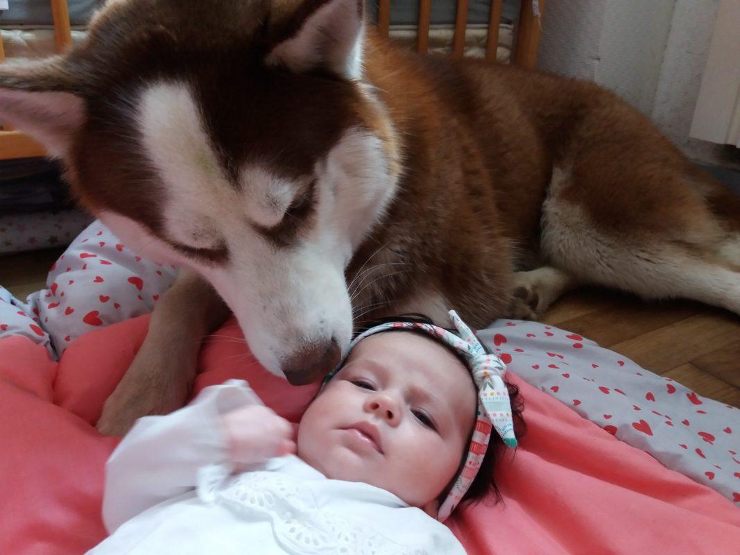 avoir un bebe avec un chien husky siberien