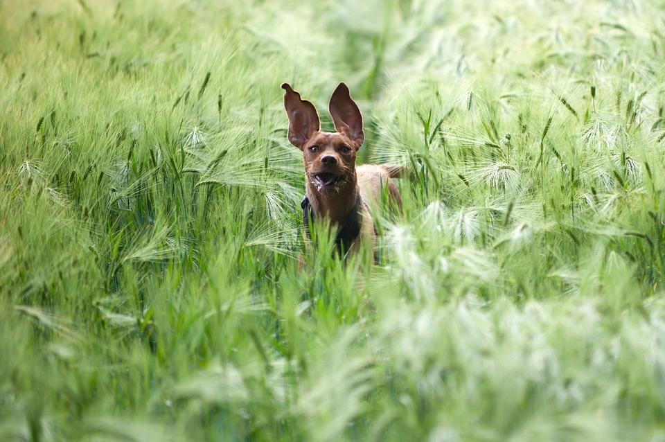 chien court champs