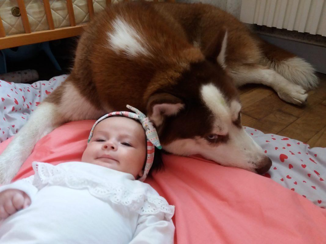 enceinte grossesse accouchement bebe chien husky