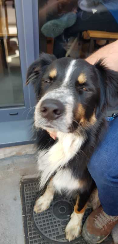 leiko chien croise border collie berger australien