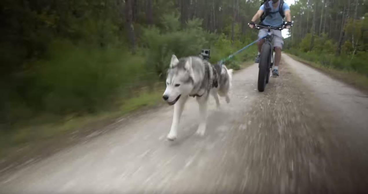 harnais chien de traineau vélo canivtt