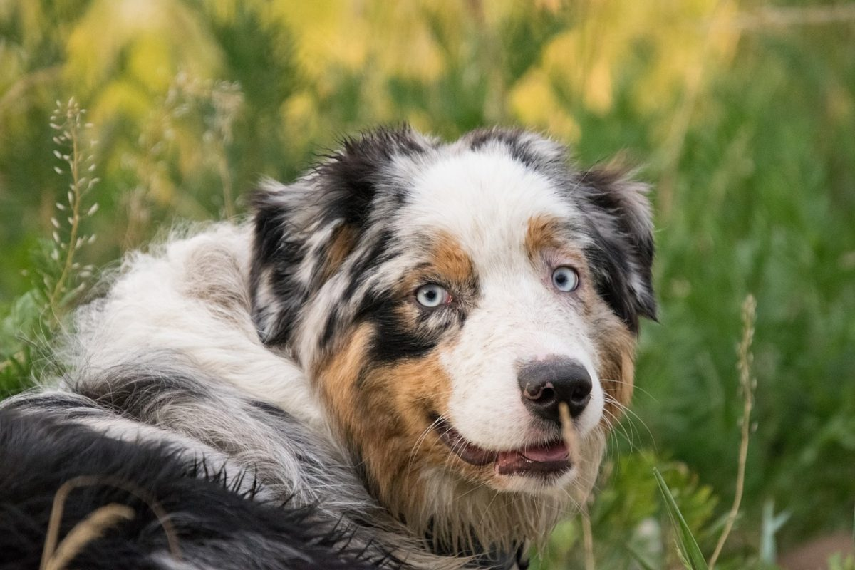 Berger Australien - Quel chien pour course à pied
