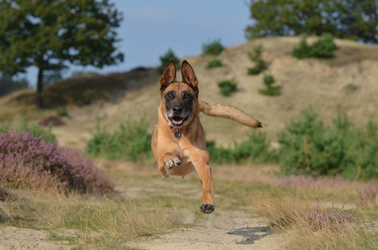Berger Belge Malinois - Quel chien course à pied