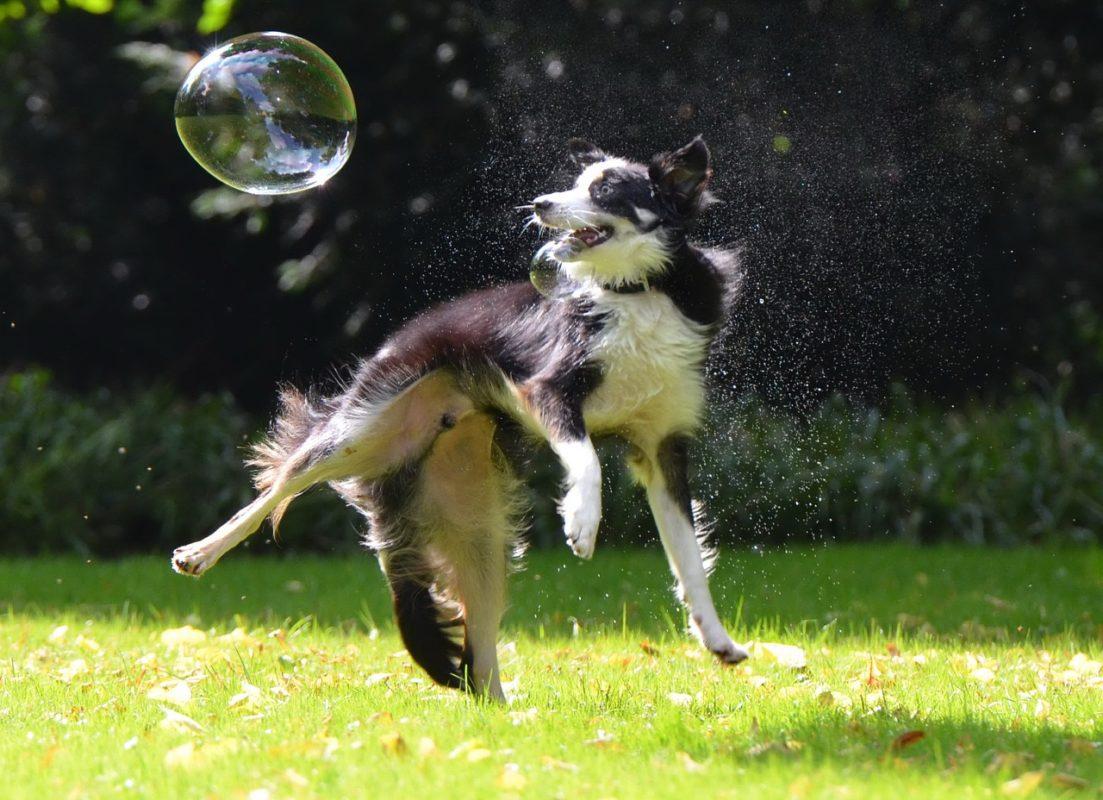 Border Collie - Quel chien pour la course à pied