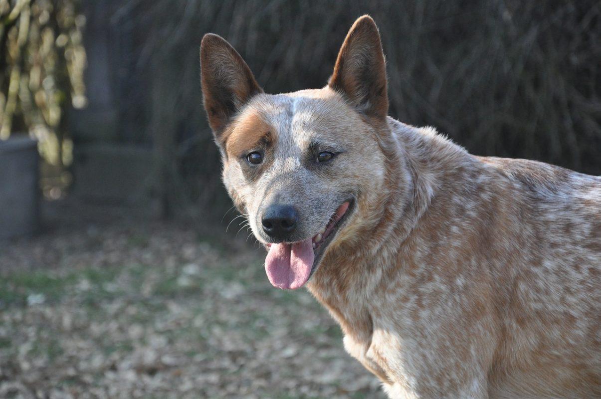 Bouvier Australien - Quel chien pour course à pied