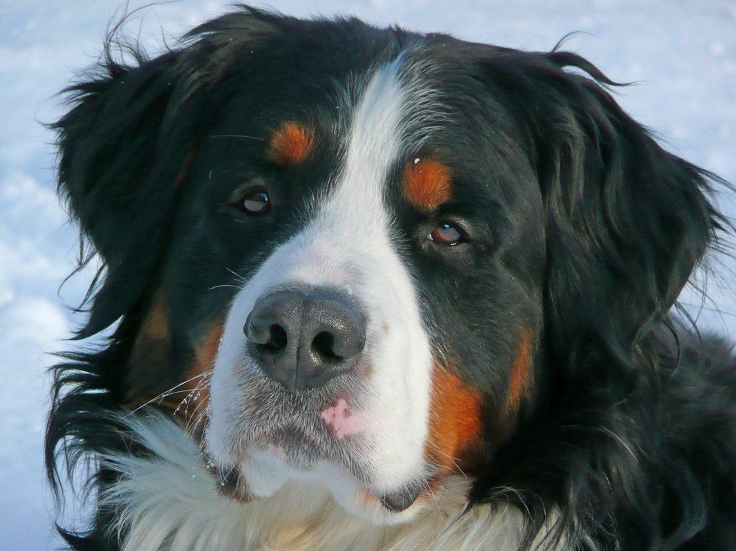Bouvier Bernois - Quel chien pour course à pied