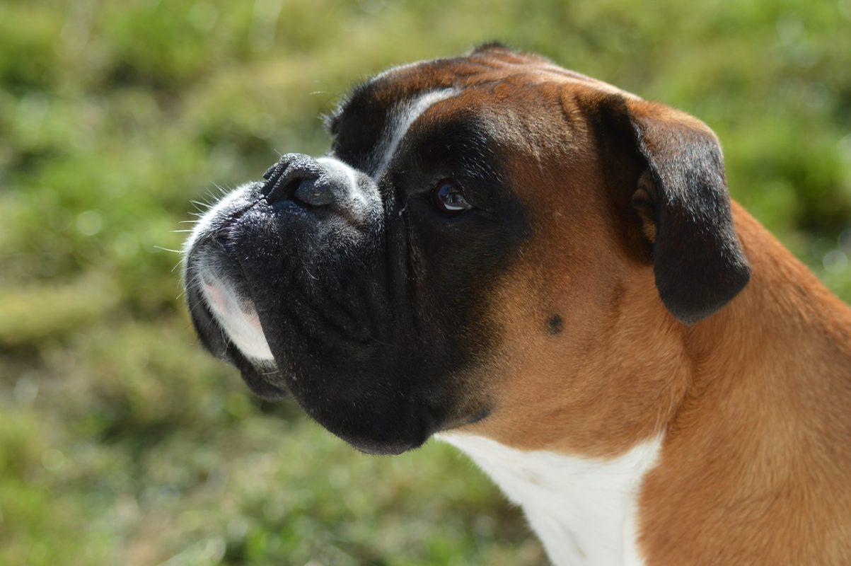 Boxer - Quel chien pour course à pied