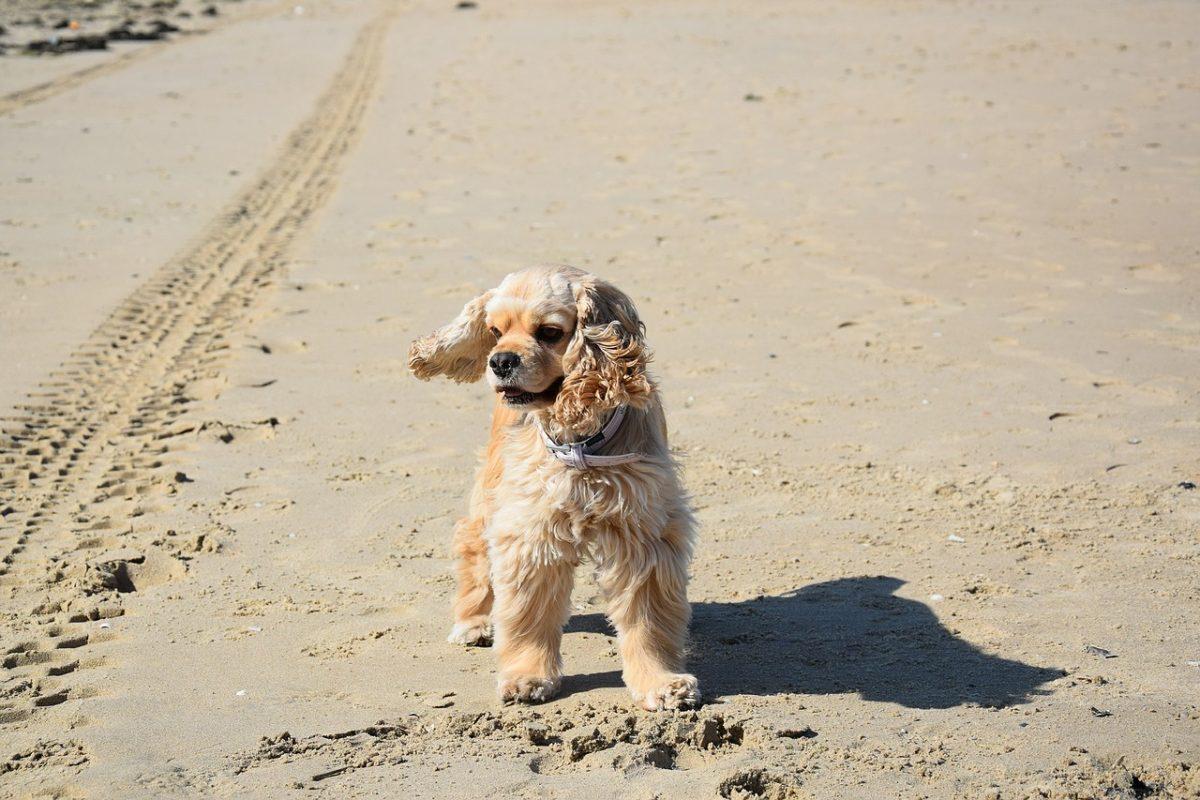 Cocker Américain - Quel chien pour la course à pied