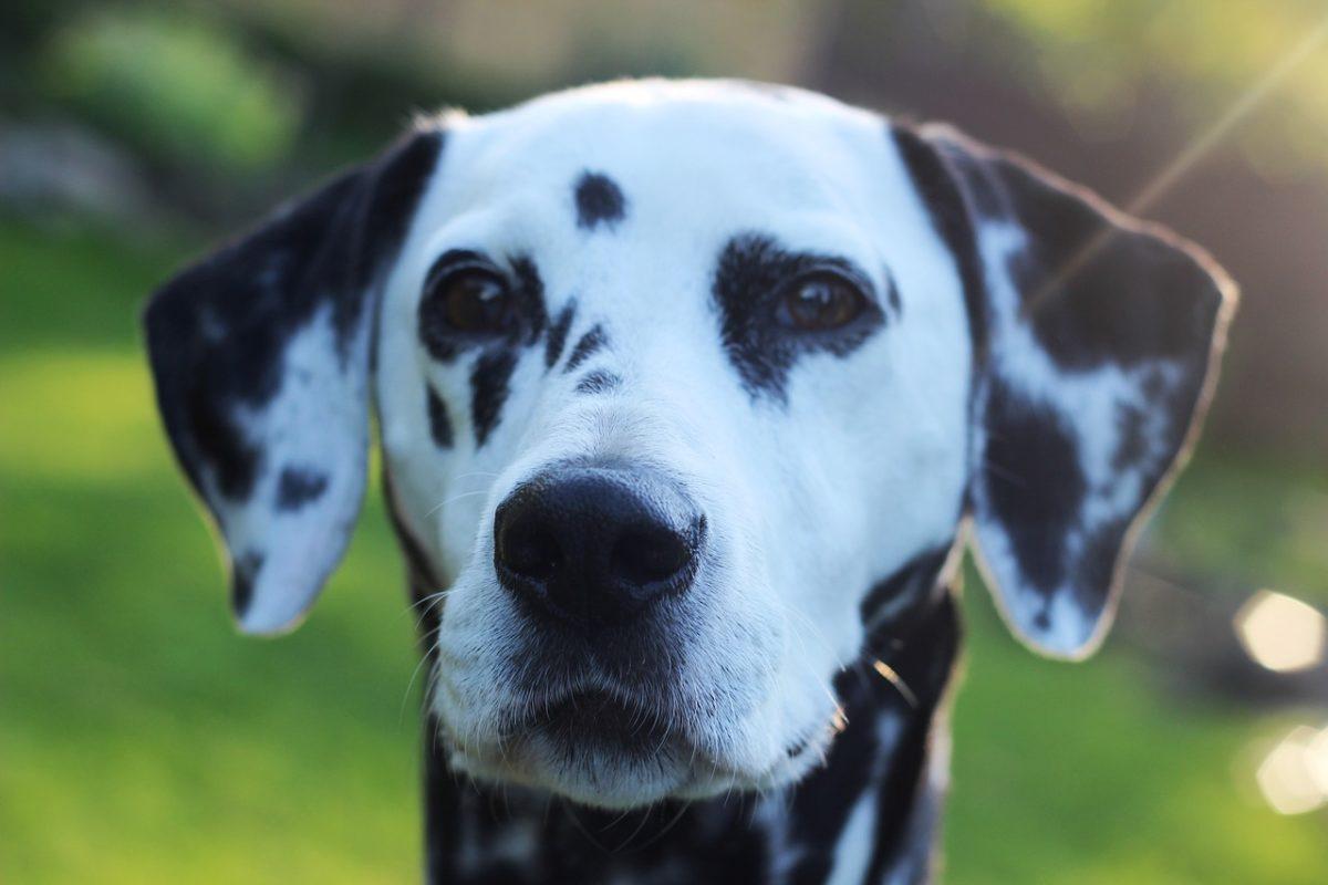 Dalmatien - Quel chien pour course à pied