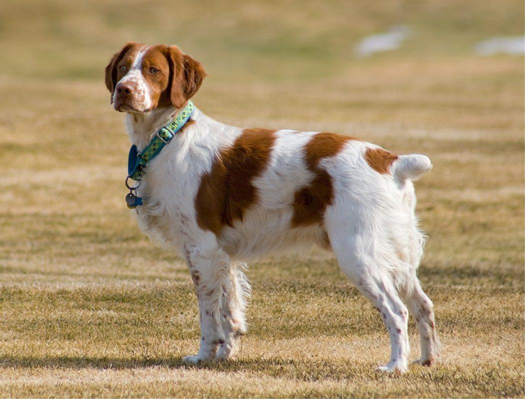 Epagneul Breton - Quel chien pour course à pied