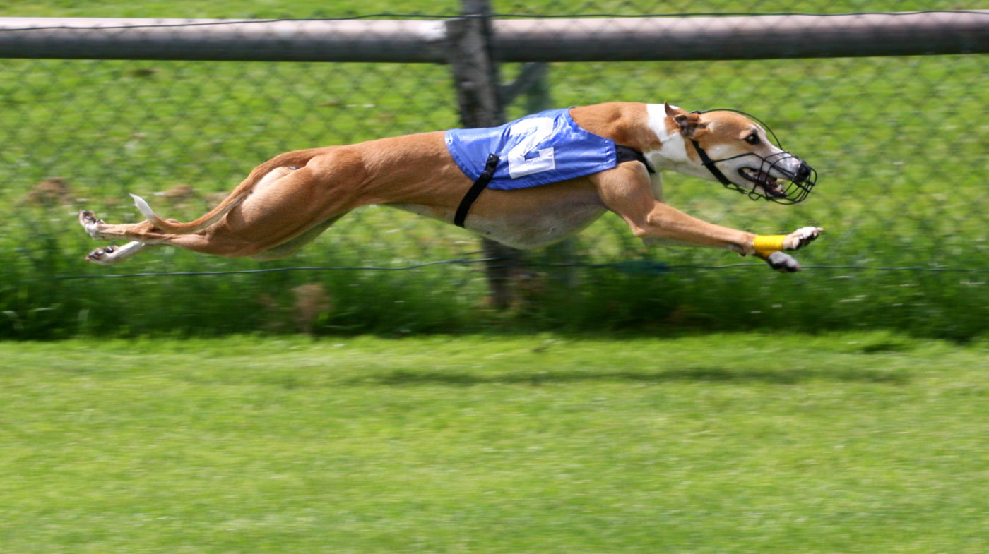 Greyhound - wikipedia - Quel chien pour course à pied