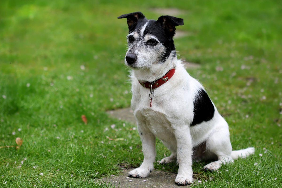 Jack Russel Terrier - Quel chien pour la course à pied