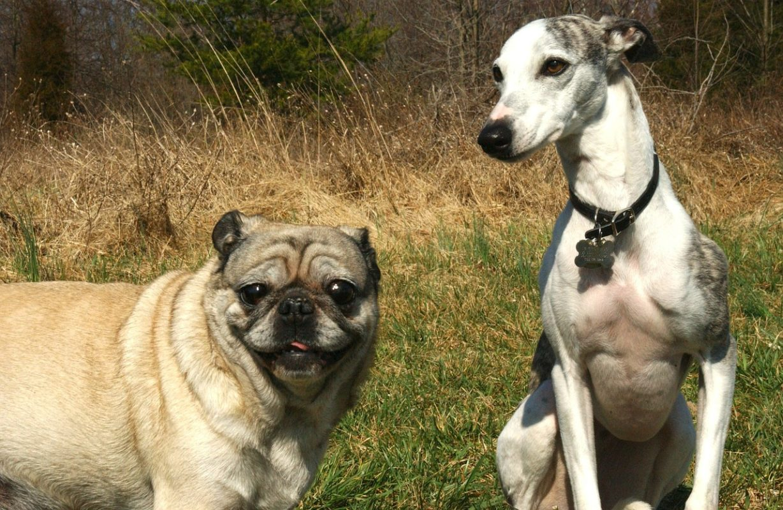 Lévrier Whippet - Quel chien pour course à pied
