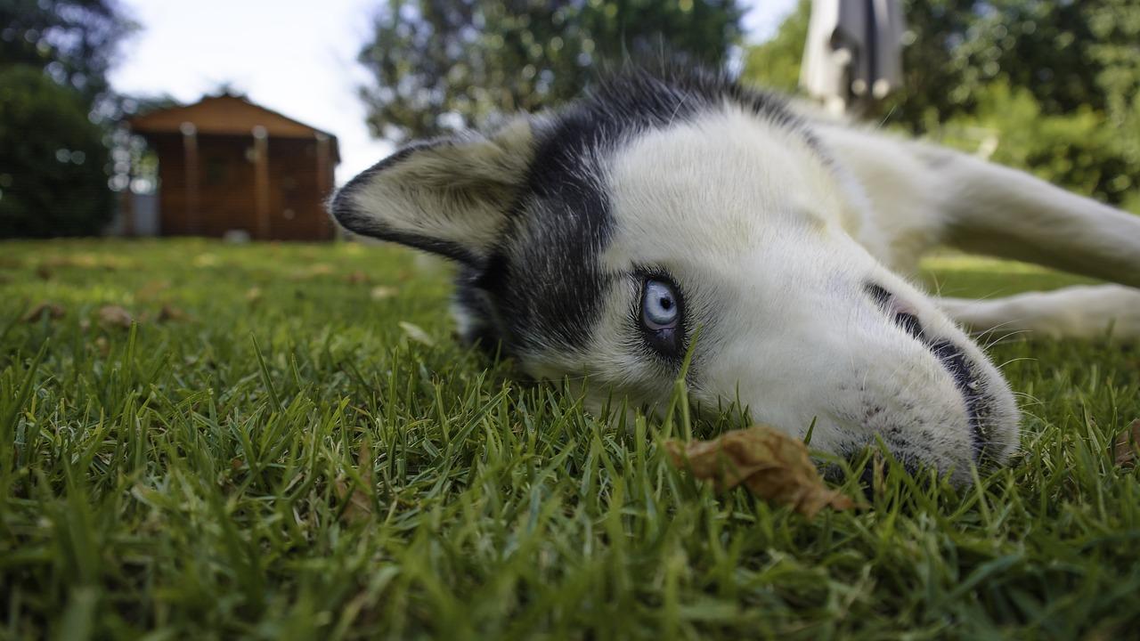 Le Husky de Sibérie - Quel chien pour course à pied