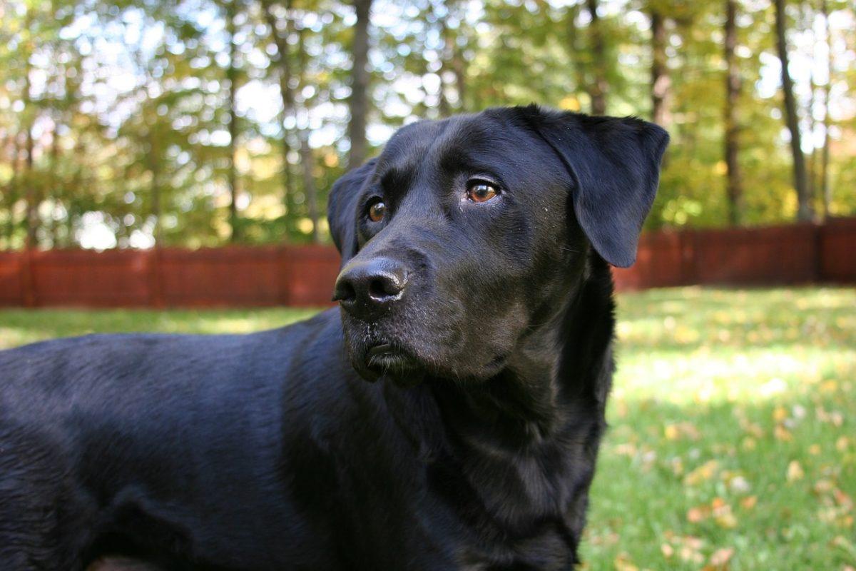Le Labrador Retriever - Quel chien pour course à pied