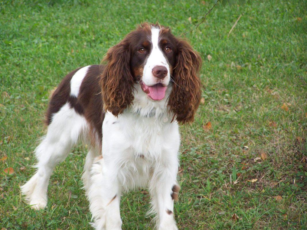 Springer Anglais - Quel chien pour course à pied