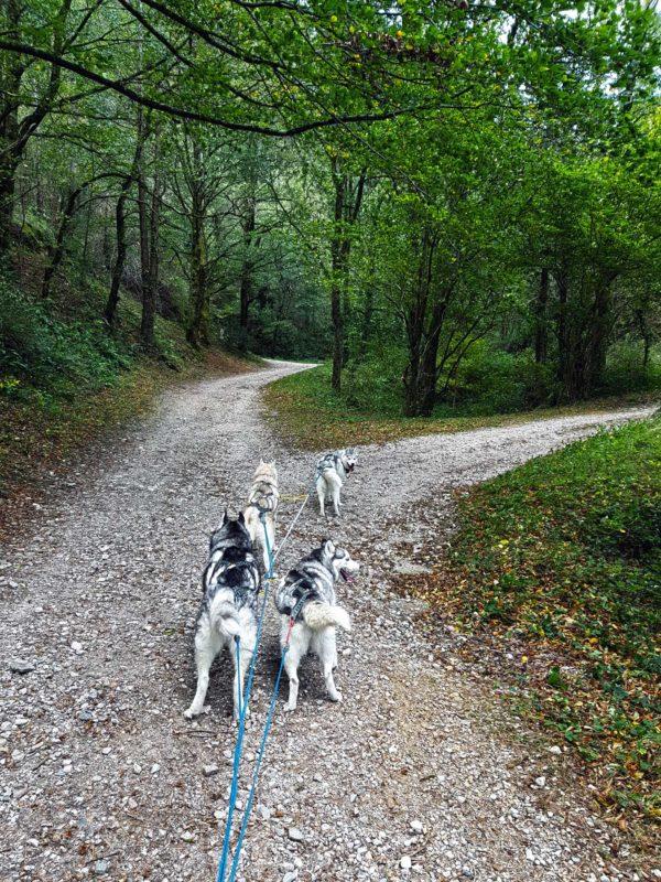 attelage canin - chien de traineau