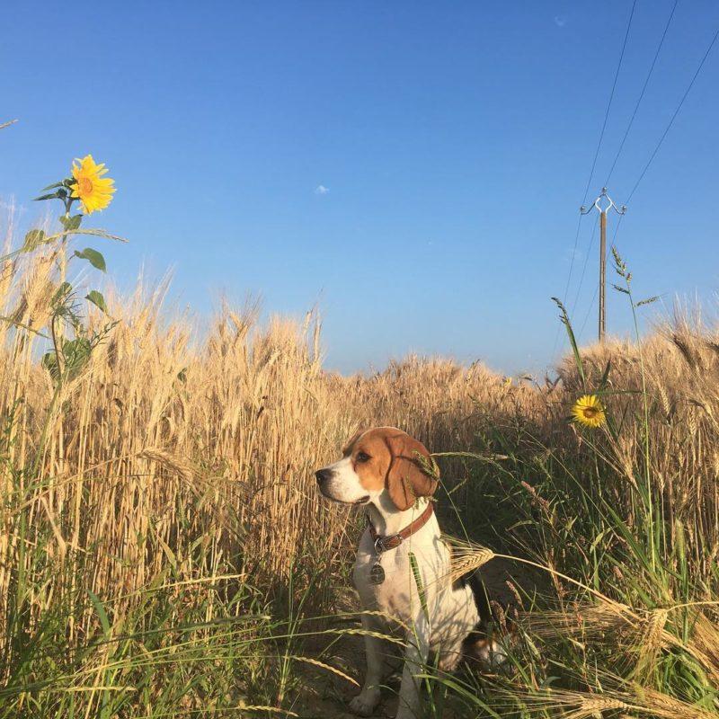 beagle conseilsdechien - Quel chien pour la course à pied