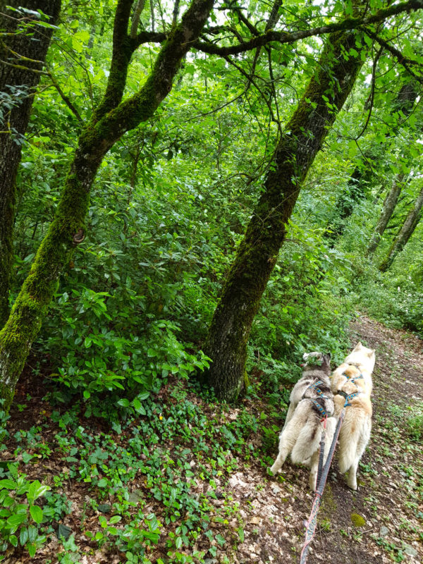 canicross 2 chiens foret nature