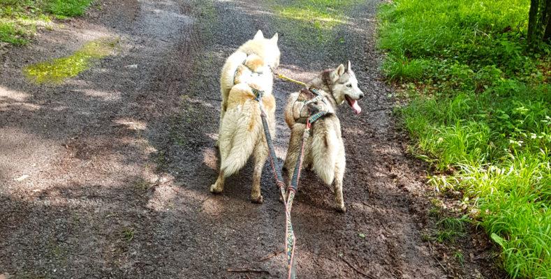 canicross 2 chiens - ligne de trait double amortisseur