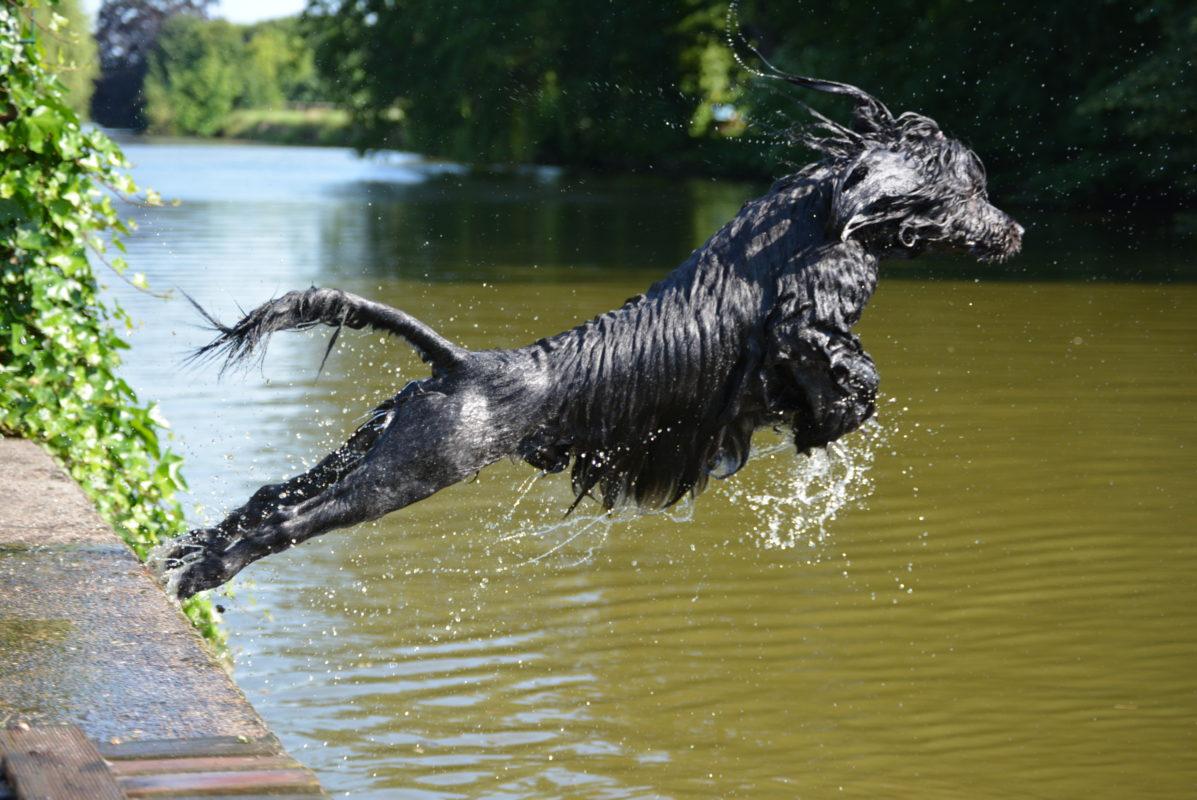 chien d'eau Portugais - wegroup sa - Quel chien pour course à pied