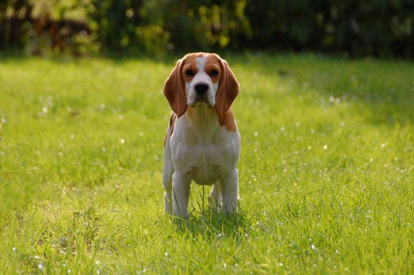 courir avec son beagle canicross running