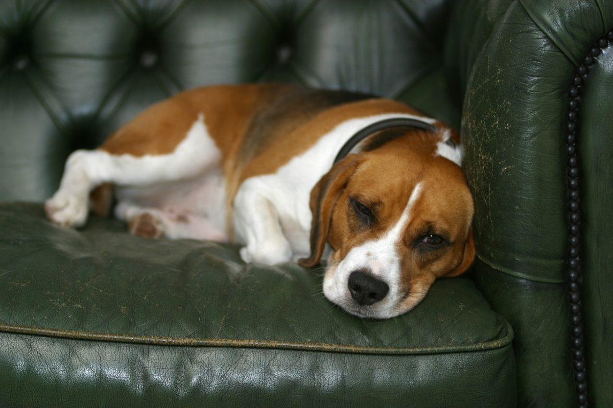 courir avec son beagle quelle distance courir