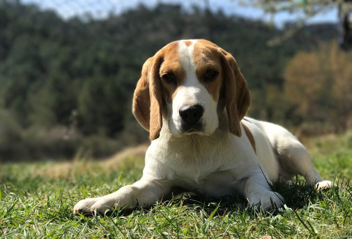 courir avec son beagle - race de chien