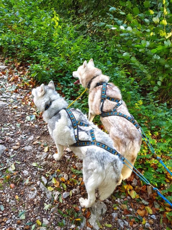 harnais pour chien xback 2 chiens