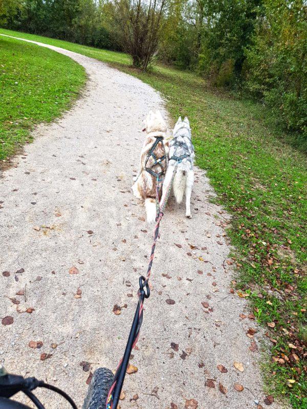 canivtt deux chiens terrain plat