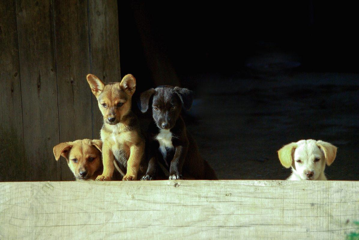 nom de chien en P pour 2019 male femelle chiot