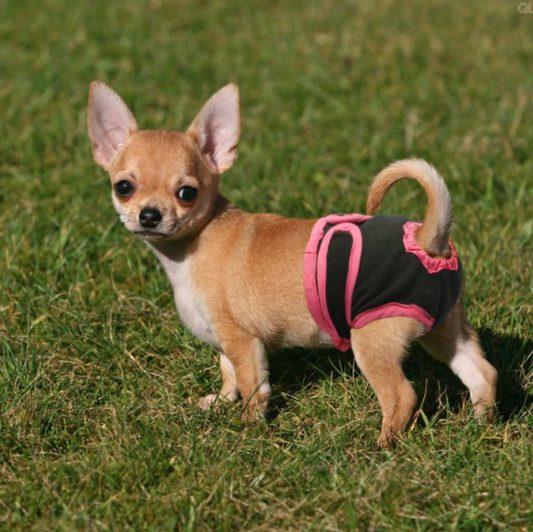 culotte de chien - chaleurs chez la chienne petit chien