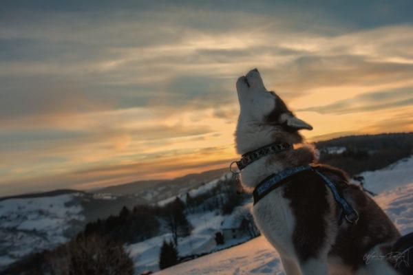 husky loup chocolat neige couché soleil