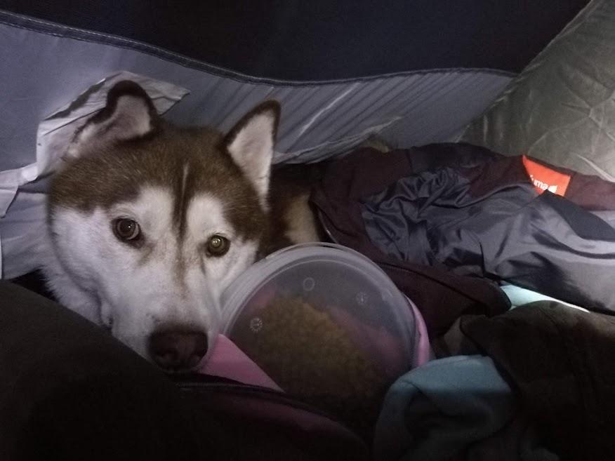 Husky en tente