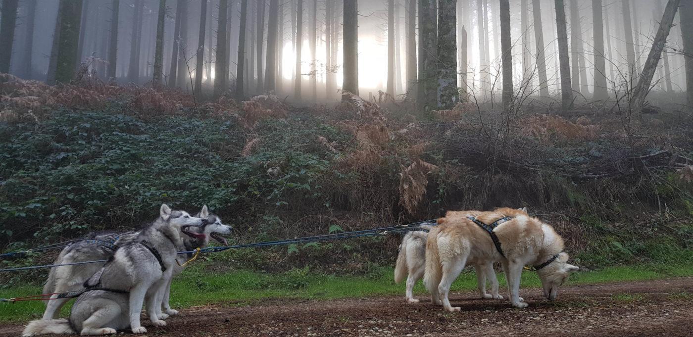 attelage canin en foret