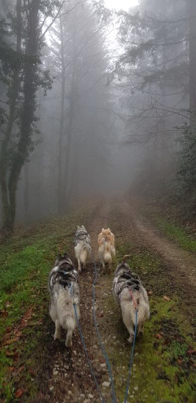 attelage canin entrainement chemin foret montagne noire