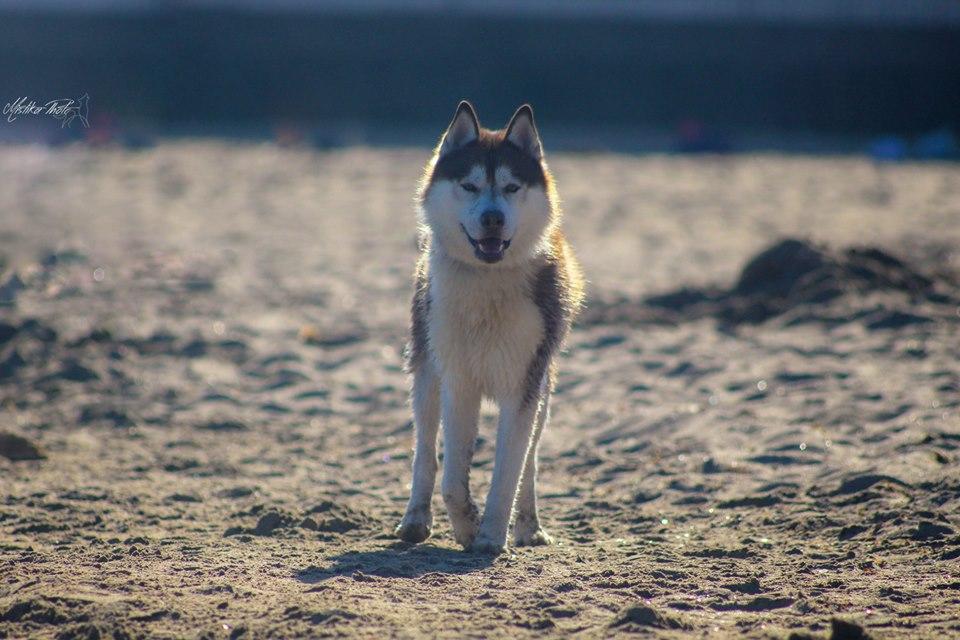 husky plage